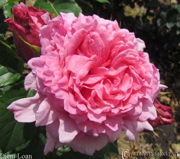 Hoa hồng leo Diễm Loan 60