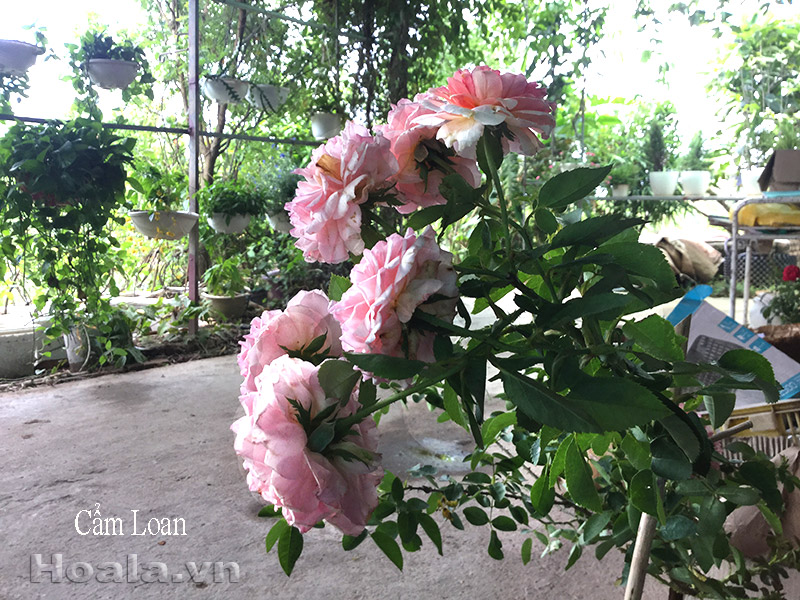 Hồng leo Cẩm Loan 10