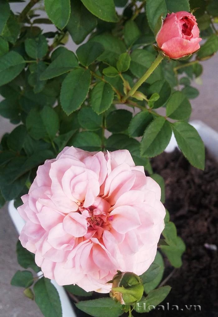 Cây hoa hồng leo Nguyệt Anh 204