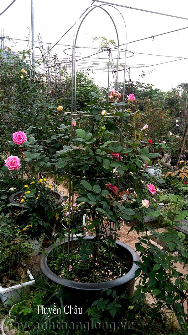Hoa hồng leo Huyền Châu 196