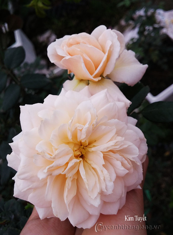 Hoa hồng leo Kim Tuyết 88