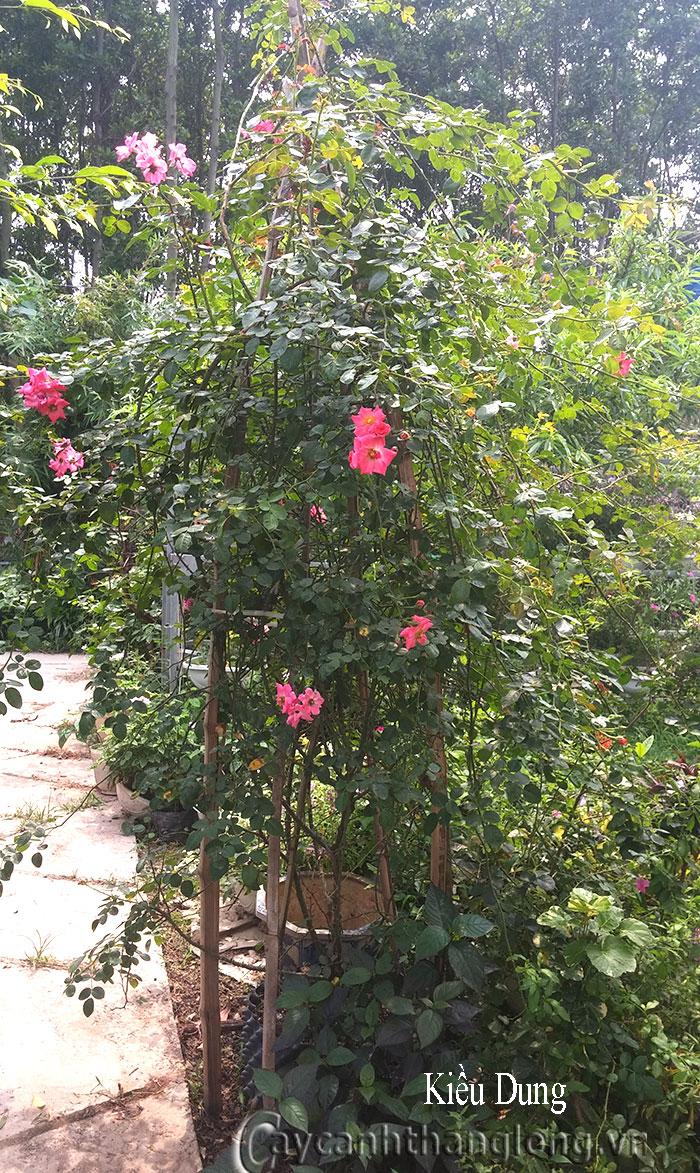 Hồng leo  Kiều Dung 27