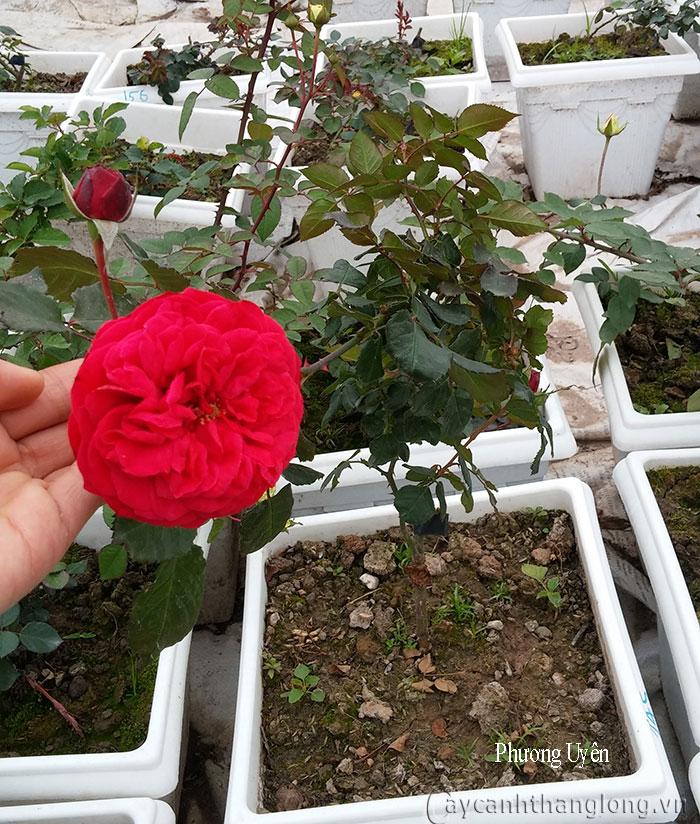 Cây hoa hồng leo Phương Uyên 145