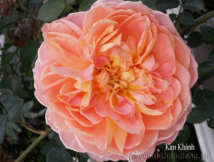 Cây Hoa hồng leo Kim Khánh 163