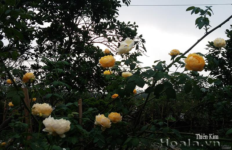 Hoa hồng leo Thiên Kim 89