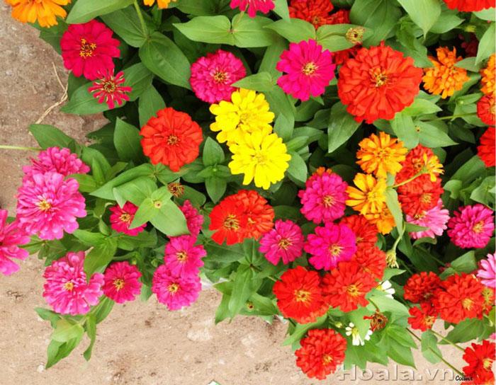 Hạt giống hoa Cúc lá nhám