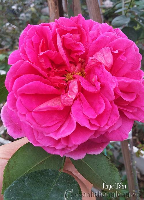 Cây hoa hồng leo Thục Tâm 139