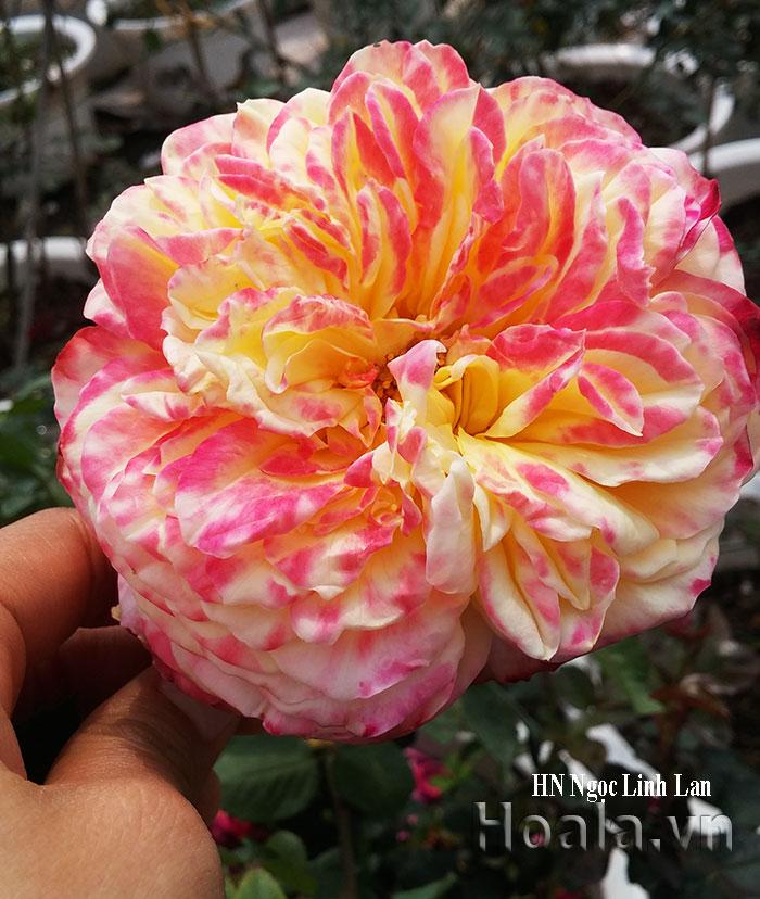 Hoa hồng leo Ngọc Linh Lan 107