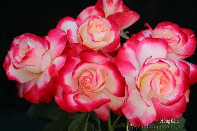 Hoa hồng Hồng Khôi 266