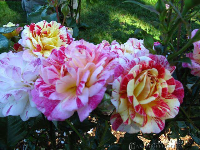 Hoa hồng Diệu Minh Châu 267