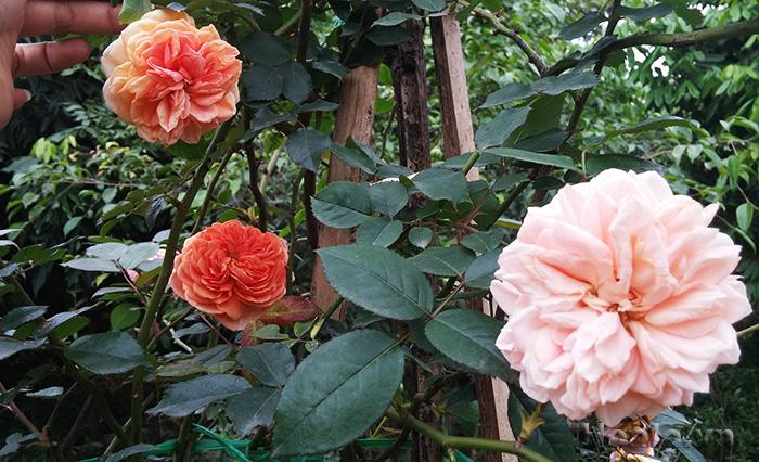 Bảng giá 300 Giống hoa hồng ngoại