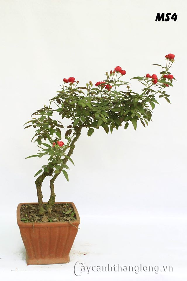 Hoa hồng bonsai