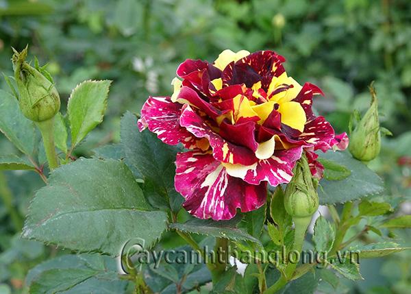 Cây hoa hồng leo Cẩm Vân 221