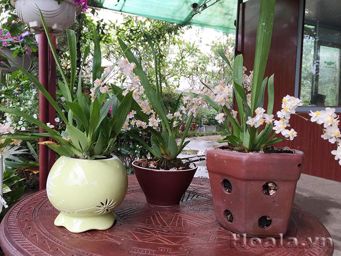Hoa lan vũ nữ thơm