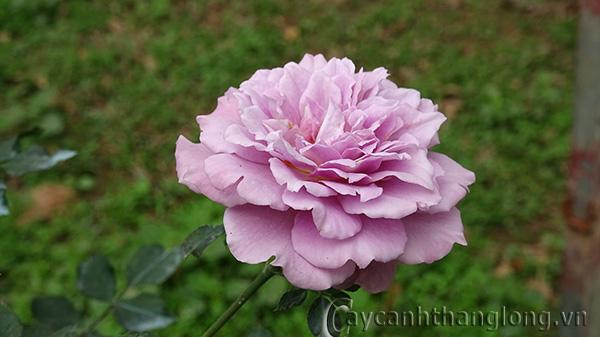 Hoa hồng leo Bích Vân 69