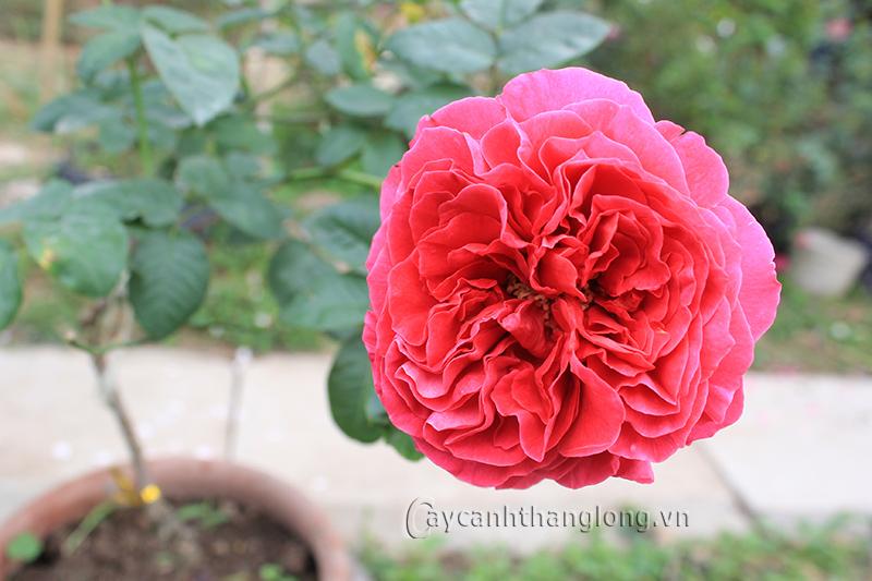 Hoa hồng Diễm Cát 259