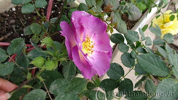 Cây hoa hồng leo Diễm Lam 180