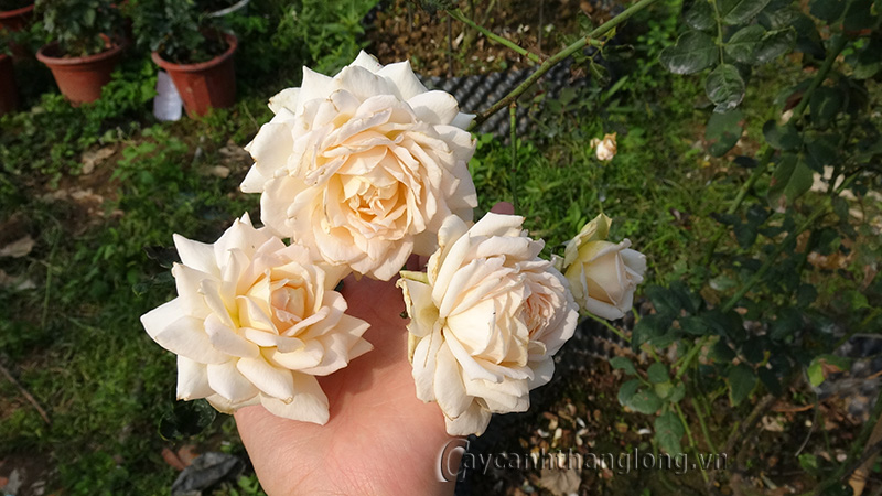 Hoa hồng leo Hoàng Xuân 86