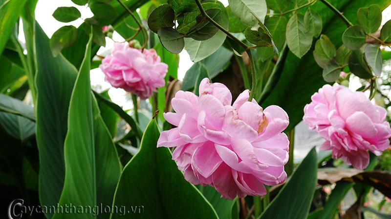 Cây hoa hồng leo Hồng Ân 138