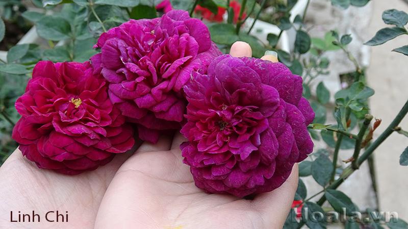 Cây hoa hồng leo Linh Chi 141