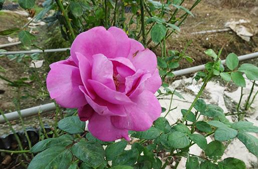 Hoa hồng bụi Tú Minh Châu 271