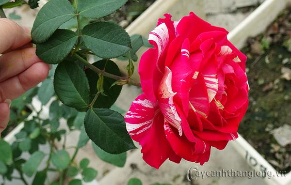 Hoa hồng leo Song Hỉ 109