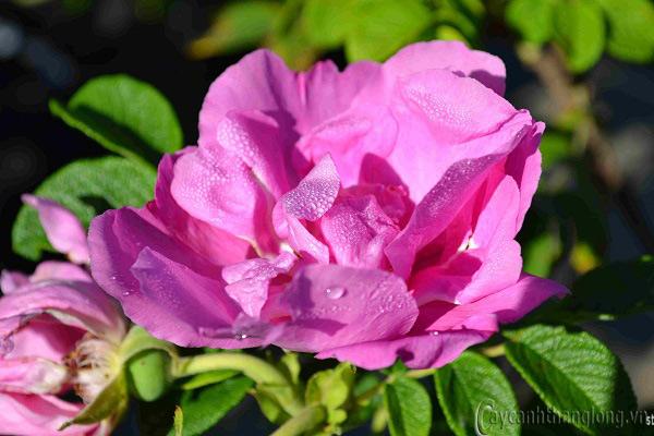 Hoa hồng Bích Loan 263