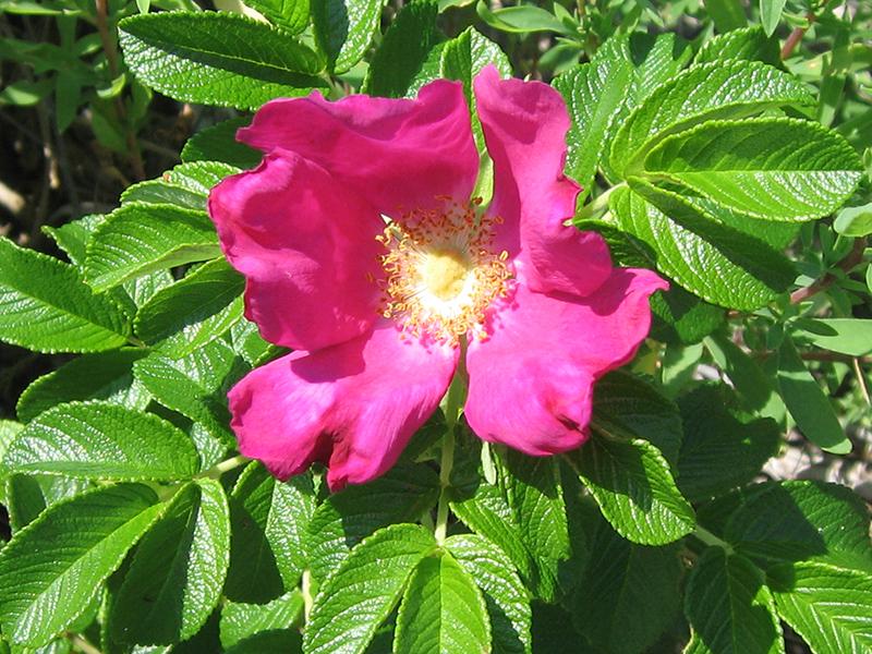 Hồng leo Bích hoa