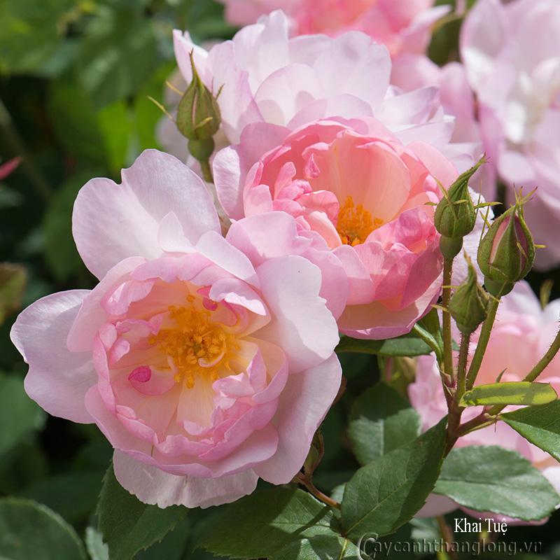 Cây hoa hồng leo Khai Tuệ 143