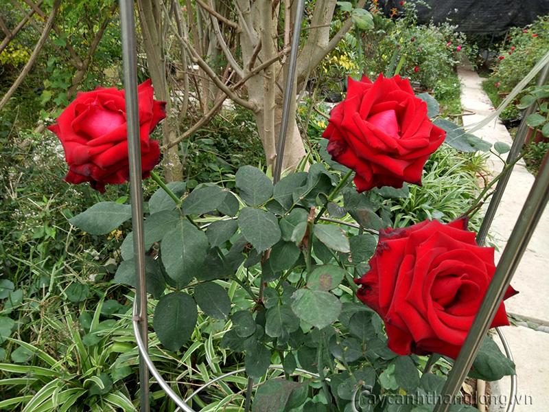 Hoa hồng leo Gia Ân 104