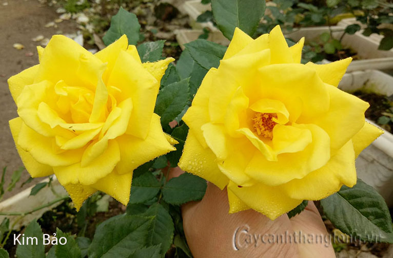 Hoa hồng Kim Bảo 235