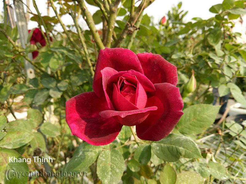 Hoa hồng Khang Thịnh 245