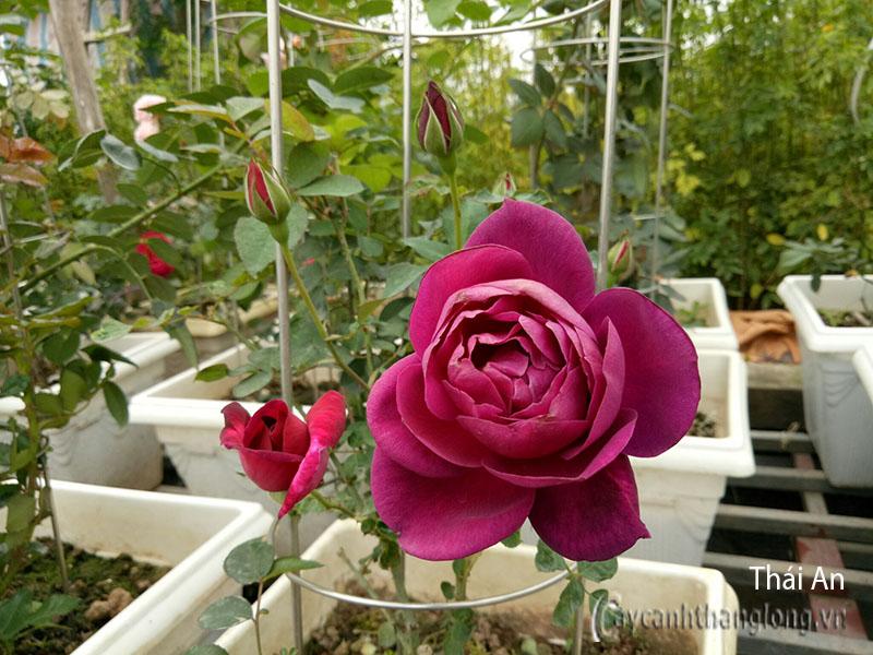 Hoa hồng Thái An 249