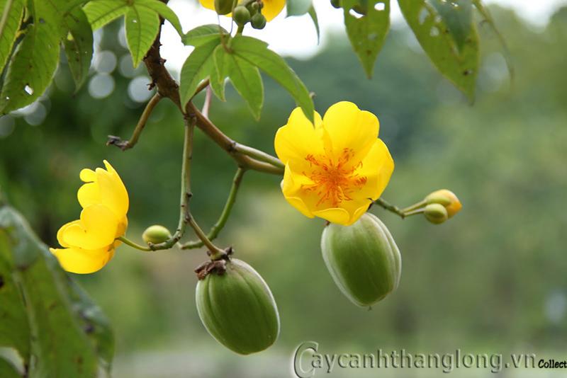 Cây mai hoa đăng- Mai Hà Lan