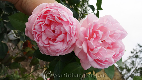 Hoa hồng Diễm Khánh 261