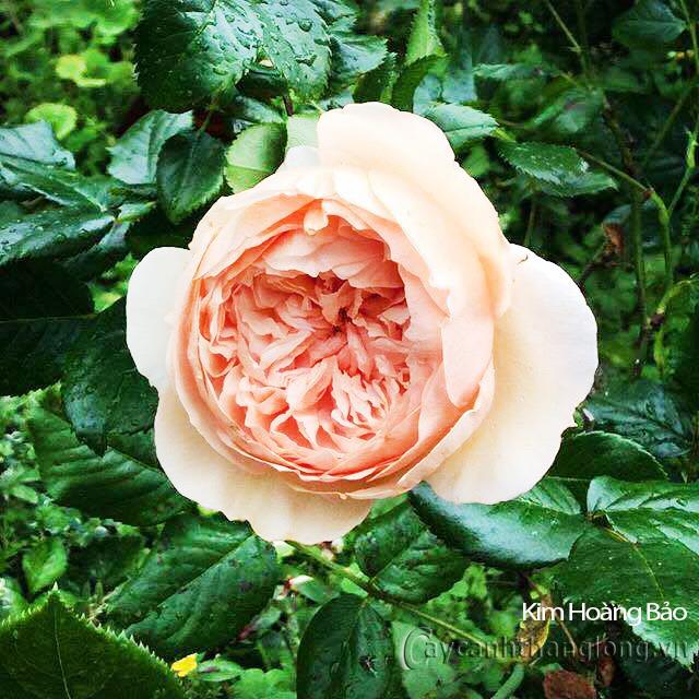 Hoa hồng Kim Hoàng Bảo 282