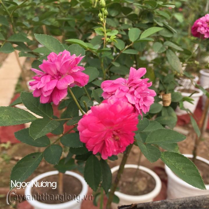 Hoa hồng Ngọc Nương 288