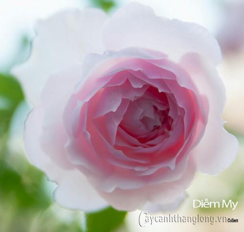 Hoa hồng Diễm My 286