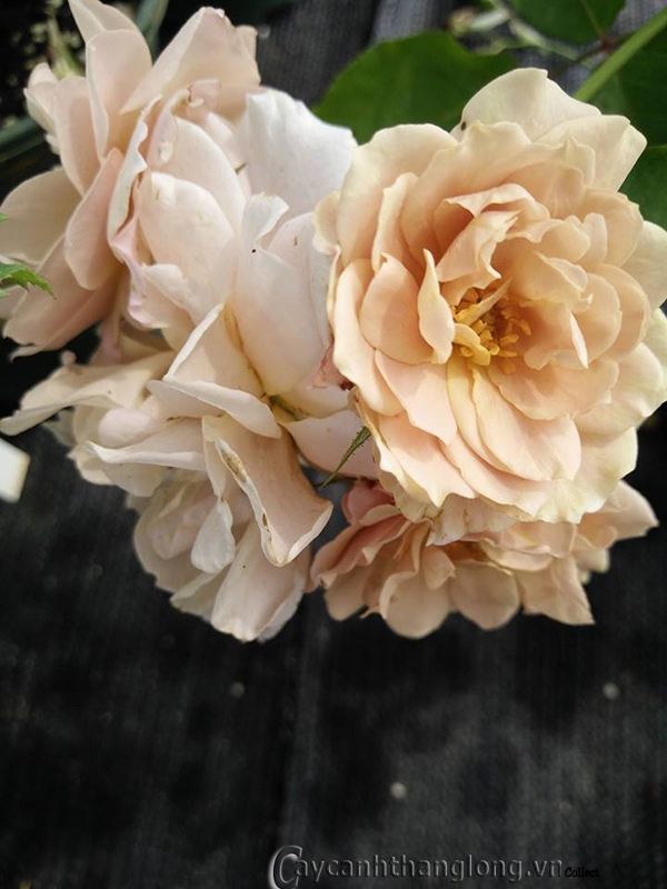 Hoa hồng Linh Hương 281