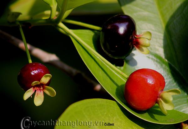 Cây giống Cherry Brazil
