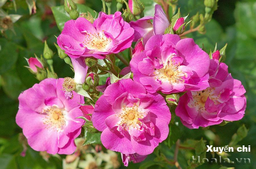 Cây hoa hồng leo Xuyến Chi 175