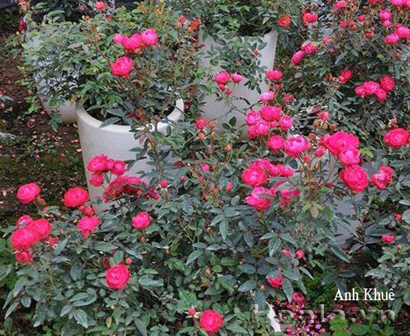 Giá sắt giàn hoa hồng