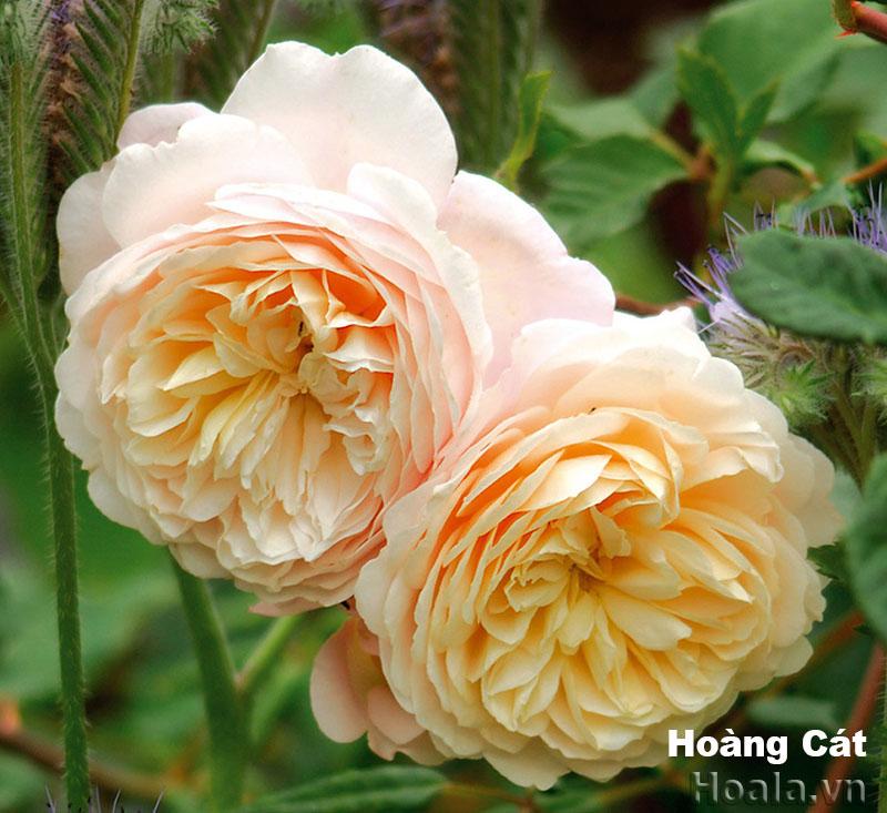 Hoa hồng Hoàng Cát 273