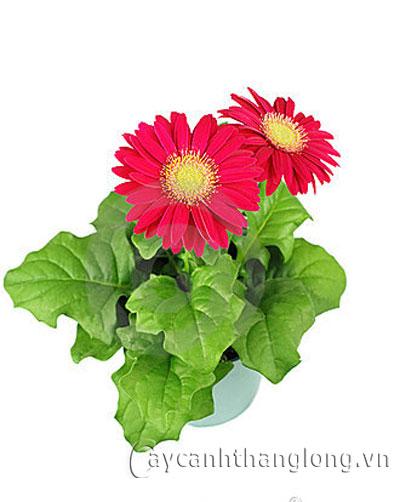 Chậu hoa quà tặng 20/10 và hoa 20/11 | hoala.vn