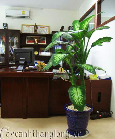 Cây cảnh văn phòng được ưa chuộng hiện nay | hoala.vn