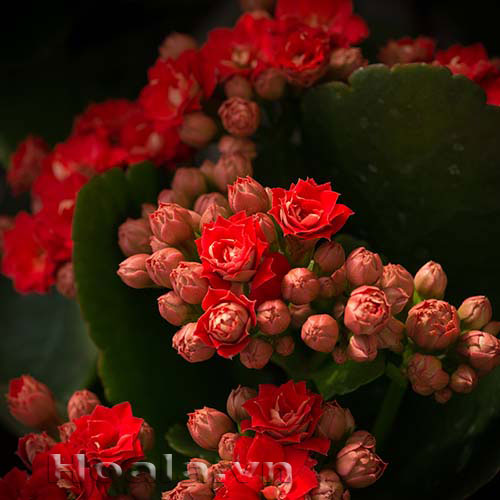 Hoa Bách niên rực rỡ đáng yêu | hoala.vn
