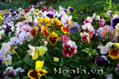 hoa_tet_2015_2|hoala.vn
