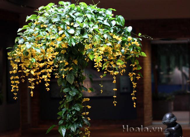 Hoa mua he - hoa lan hoang duong
