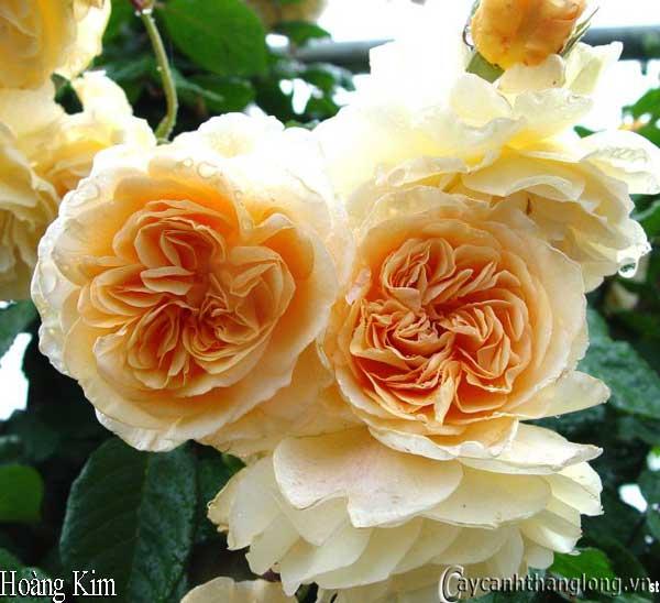 Hoa hồng leo màu vàng - Hoàng Kim 38 - hoa hồng David Austin