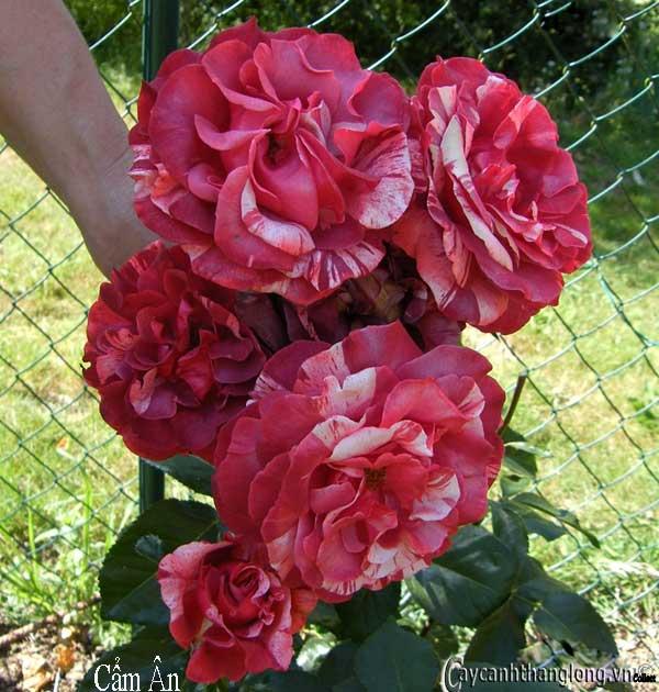 Hoa hồng leo nhập ngoại màu kẻ sọc độc đáo - Cẩm Ân 47